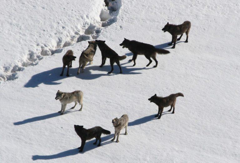 Manada de lobos en el frío ártico